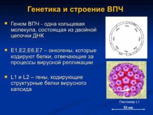 Генетика и строение ВПЧ