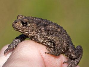 Бородавки у жабы