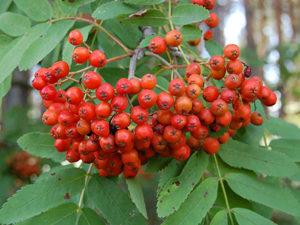 Дерево рябина для лечения бородавок