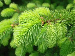 Лечебные свойства еловой хвои