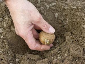 Закапывание картофеля в землю