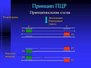 Принцип анализа ПЦР