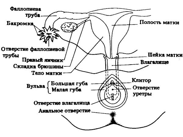 shema-proniknoveniya-spermi-v-matku-cheloveka