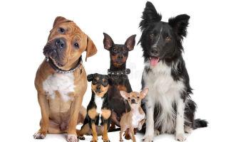Атопический дерматит собак: как диагностировать и лечить?
